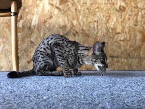 Savannah cat nutrition The myths